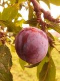 Fruta macra Foto de archivo