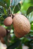 Fruta macra del zapote Imagen de archivo libre de regalías