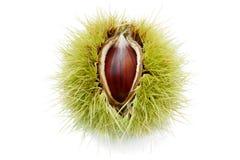 Fruta madura de la castaña Imagen de archivo libre de regalías