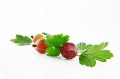 Fruta madura de la grosella espinosa Imagen de archivo libre de regalías