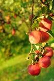 Fruta madura de la manzana Fotos de archivo libres de regalías