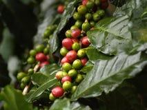 Fruta madura del café Foto de archivo libre de regalías
