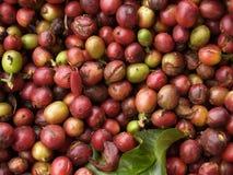 Fruta madura del café Fotos de archivo libres de regalías