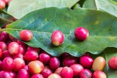 Fruta madura del café rojo en la hoja verde Foto de archivo libre de regalías