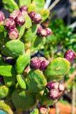 Fruta madura del higo chumbo Imágenes de archivo libres de regalías