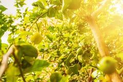 Fruta madura del limón en árbol de limón imagenes de archivo
