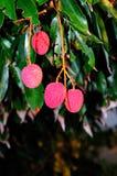 Fruta madura del lychee Fotografía de archivo libre de regalías