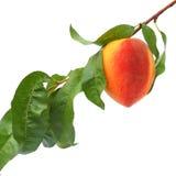 Fruta madura do pêssego Fotografia de Stock