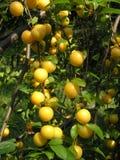 Fruta madura em filiais de árvore   Imagens de Stock Royalty Free