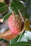 Fruta madura en el fondo del follaje de los ficus Fotografía de archivo libre de regalías