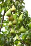 Fruta madura en la ramificación de un árbol Imagen de archivo
