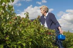 Fruta mayor de la cosecha de la mujer Imagen de archivo
