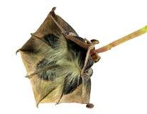 Fruta medicinal de Olatkamba con las semillas Foto de archivo