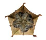 Fruta medicinal de Olatkamba con las semillas Fotografía de archivo libre de regalías