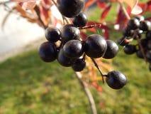 Fruta negra Imagen de archivo