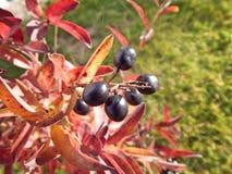 Fruta negra Imagenes de archivo