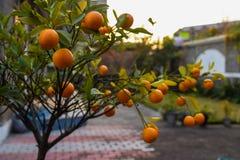 Fruta ornamental del limón Fotos de archivo libres de regalías