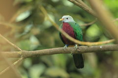 Fruta-paloma de Wompoo Fotografía de archivo