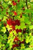 Fruta roja Fotos de archivo libres de regalías