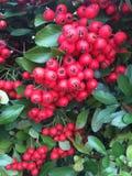 Fruta roja Imágenes de archivo libres de regalías