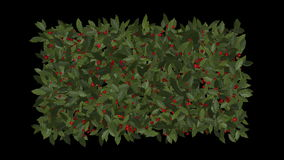 fruta roja de la cereza de las bayas del invierno 4k en el crecimiento de la planta de la vegetación del acebo almacen de metraje de vídeo