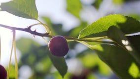 Fruta roja de la cereza que se mueve en el viento en el jardín del verano metrajes
