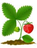Fruta roja de la fresa con las hojas verdes