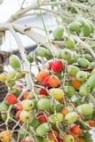Fruta roja de la palma Imágenes de archivo libres de regalías