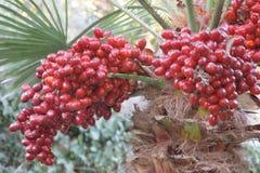 Fruta roja de la palma foto de archivo