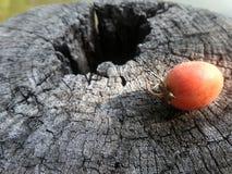 Fruta roja de la palma en la madera putrefacta vieja Foto de archivo