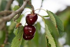 Fruta roja de las cerezas madura en un árbol con la abeja Fotografía de archivo libre de regalías