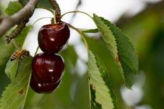Fruta roja de las cerezas madura en un árbol con la abeja Fotos de archivo libres de regalías