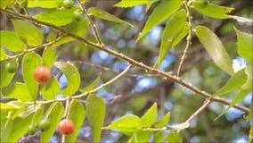 Fruta roja hermosa de Capulin o del calabura del Muntingia de la cereza jamaicana en ella oscilación de la rama en una brisa cali almacen de video