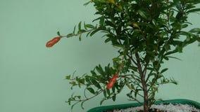 Fruta Roma de los bonsais Fotos de archivo libres de regalías