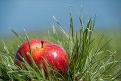 Fruta sólida jugosa roja de la manzana que miente bajo luz del sol en hierba verde imagen de archivo libre de regalías