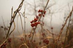Fruta salvaje Imagen de archivo