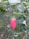 Fruta salvaje Fotografía de archivo libre de regalías