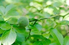 Fruta salvaje joven del limón Fotografía de archivo