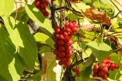 Fruta Schizandra del cepillo fotos de archivo libres de regalías