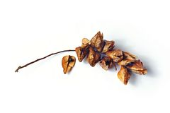 Fruta seca del paniculata de Koelreuteria Imágenes de archivo libres de regalías