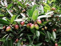 Fruta selvagem Fotografia de Stock Royalty Free