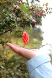 Fruta selvagem Foto de Stock Royalty Free