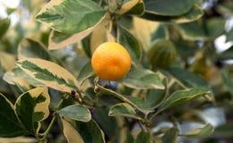 Fruta subtropical Imagen de archivo