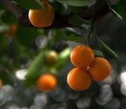 Fruta subtropical Foto de archivo libre de regalías