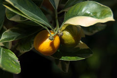 Fruta subtropical Imágenes de archivo libres de regalías