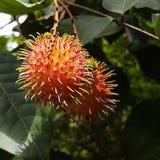 Fruta tópica de Rambootan imagen de archivo libre de regalías