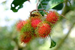 Fruta tailandesa del amor Foto de archivo