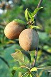 Fruta tropical - Chiku Imagen de archivo