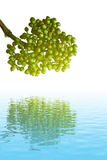 Fruta verde Imagenes de archivo