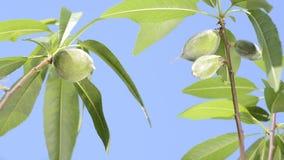 Fruta verde de la almendra almacen de metraje de vídeo